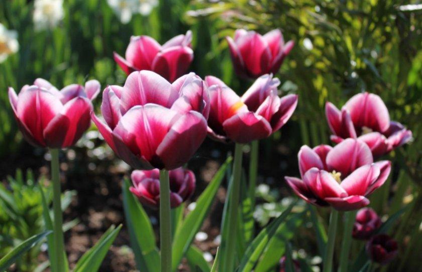 Тюльпаны сорта Александр Пушкин