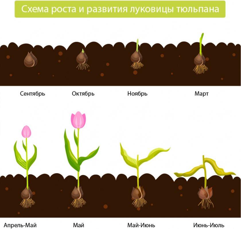 Цикл роста тюльпанов