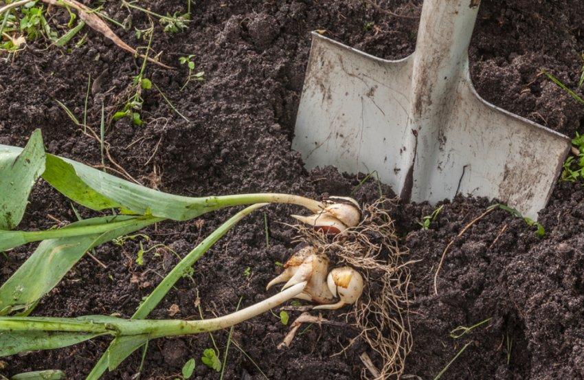 Выкопка луковиц тюльпанов
