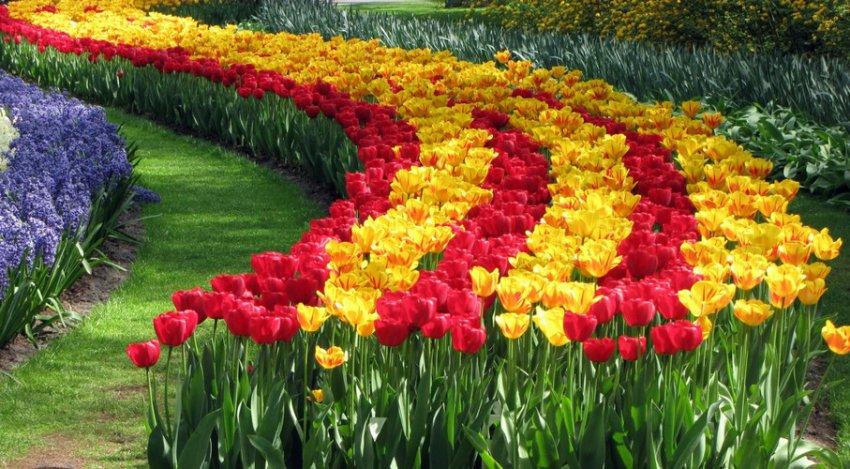 Посадка тюльпанов в виде извилистой дорожки