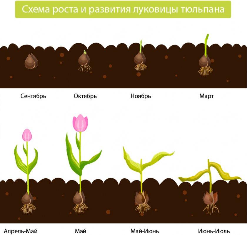 Схема роста и развития луковиц тюльпана