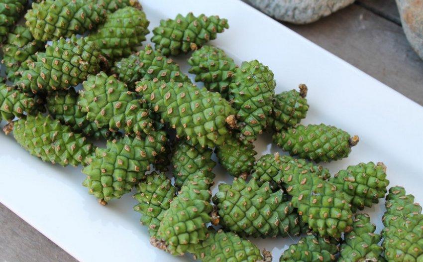 Зелёные сосновые шишки