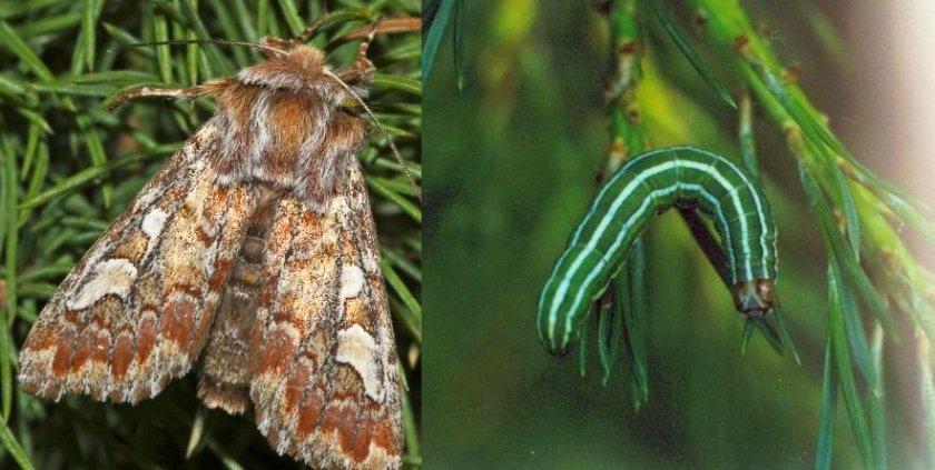 Сосновая совка и её гусеница