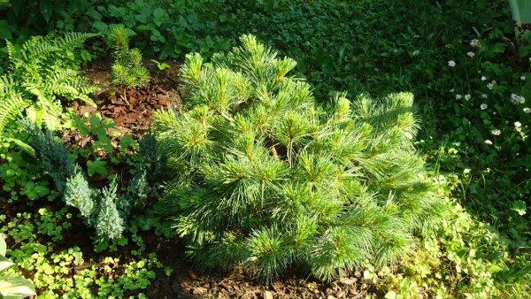 Сосна веймутова Блю Шег (Pinus strobus Blue Shag): фото и описание, зона зимостойкости