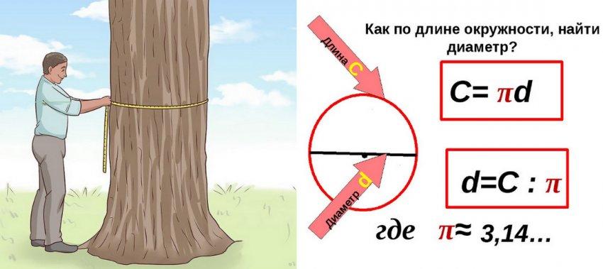 Определение возраста по диаметру ствола