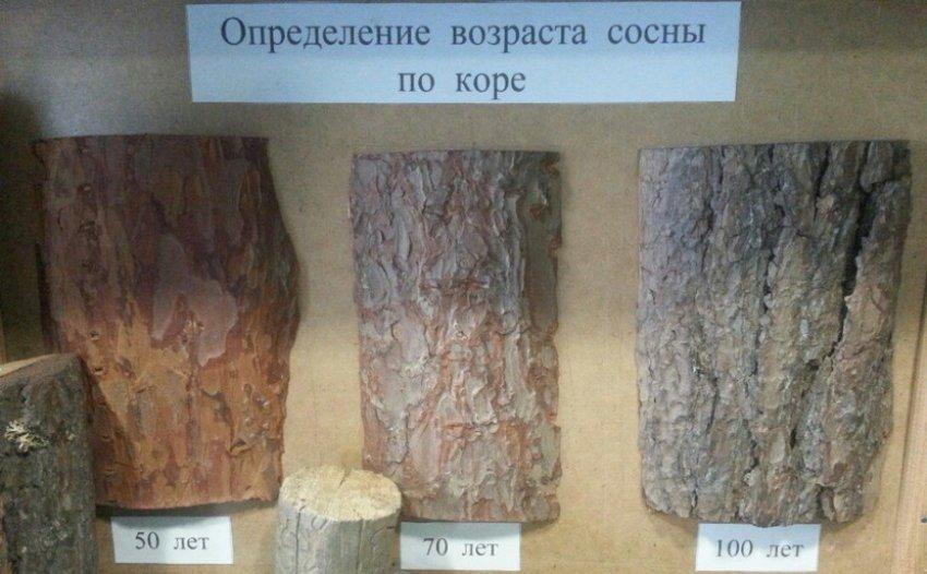 Определение возраста сосны по коре
