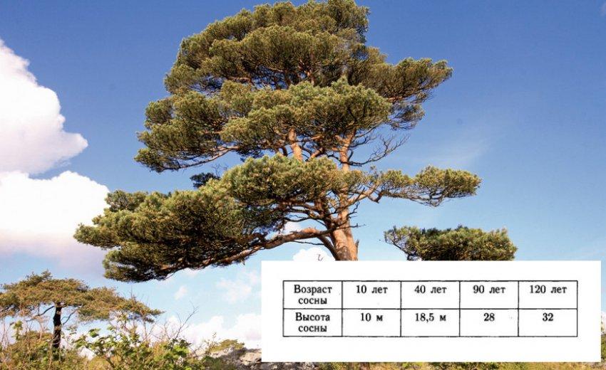 Определение возраста сосны по высоте