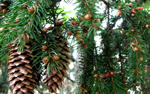 Голубые елки из семян