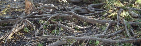 Особенности корневой системы ели