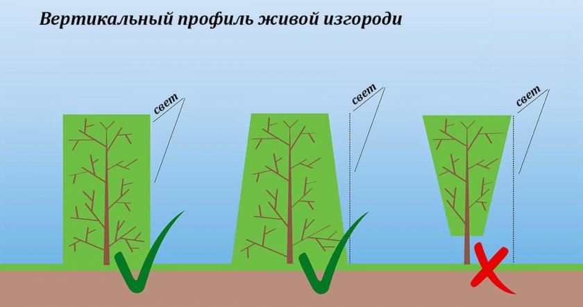 Как стричь живую изгородь