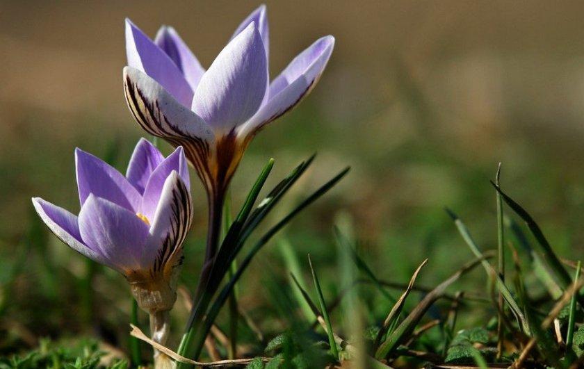 Крокус двухцветковый