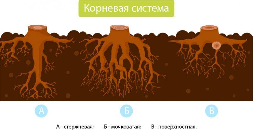 Типы корней сосны