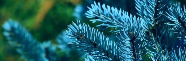 Посадка елки в саду