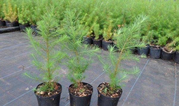 Болезни и лечение хвойных растений и деревьев