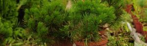 Декоративная сосна (34 фото): разновидности декоративных сосен для сада с описанием. Как правильно посадить в горшок{q}