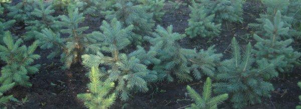 Особенности выращивания голубой ели из семян