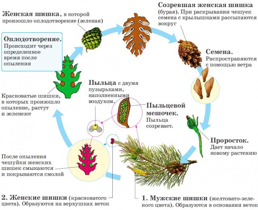 Цикл развития сосны