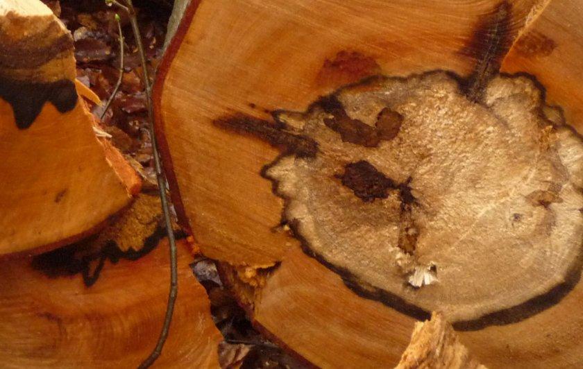 Пёстрая ядровая гниль корней и стволов