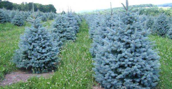Сколько растет сосна 13 фото Что влияет на скорость роста ростка Как остановить рост в высоту Чем подкормить чтобы его ускорить