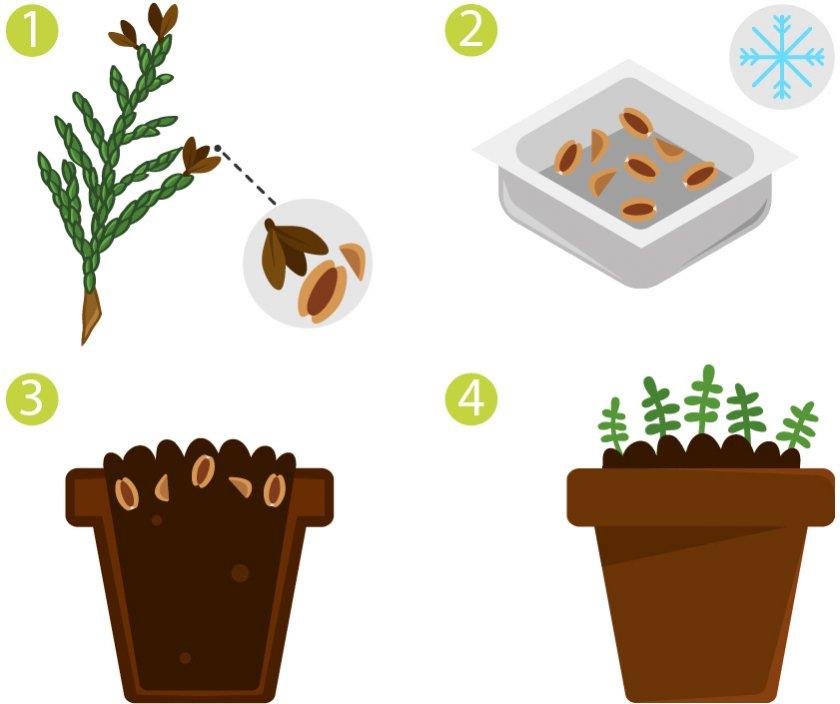 Размножение туи семенами