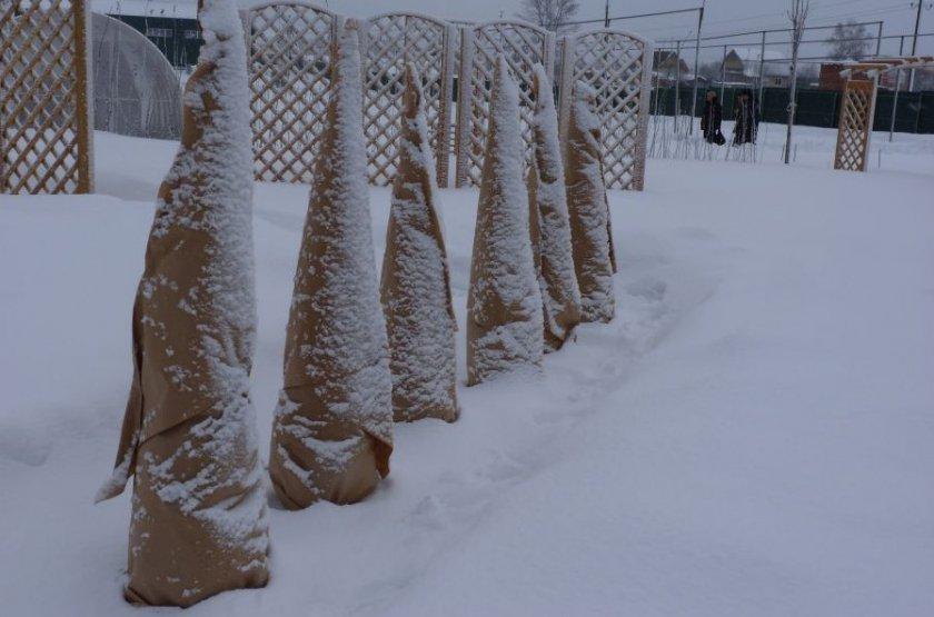 Укрытие туй на зиму
