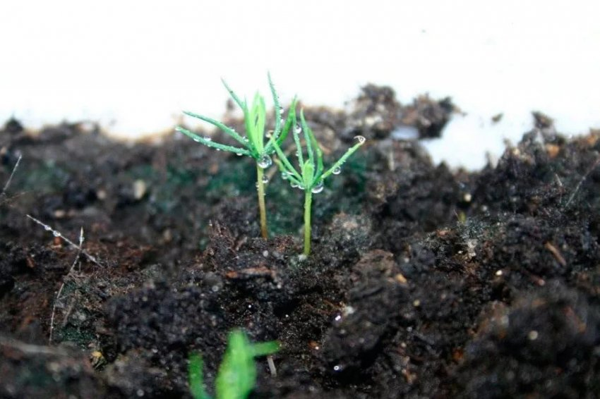 Выращивание ели из семян