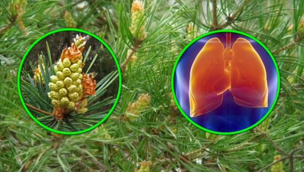 Сосновый сироп – как приготовить натуральное лекарство от кашля
