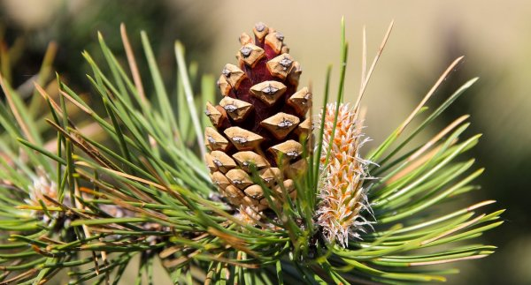 Варенье из сосновых шишек: польза и вред, противопоказания, рецепты