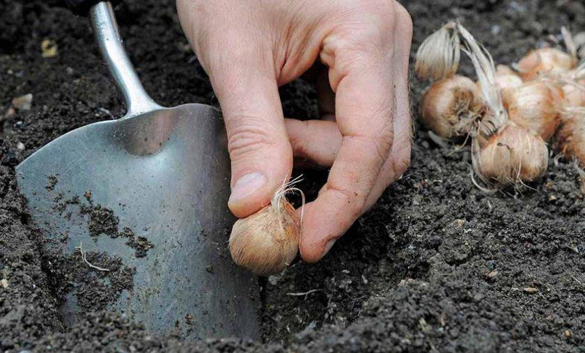 Выкапывание луковиц крокусов