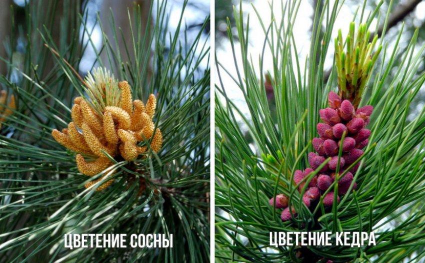 Цветение сосны и кедра