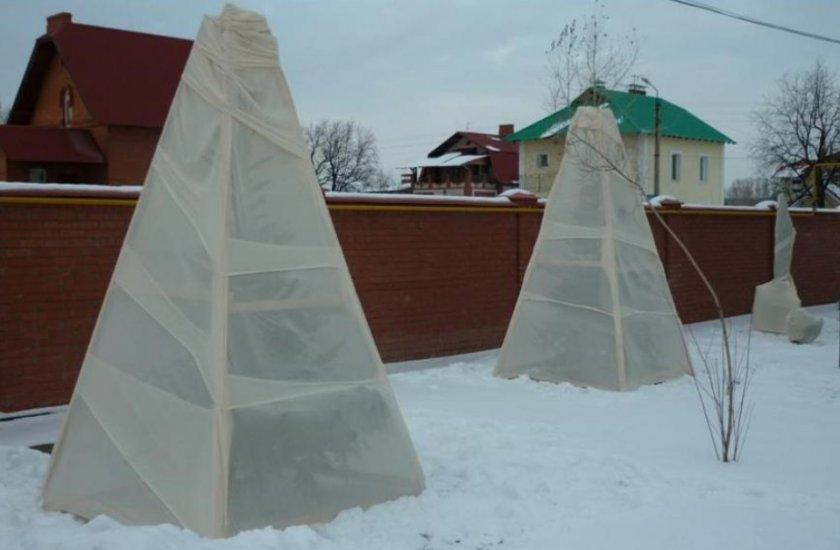 Укрытие туи на зиму