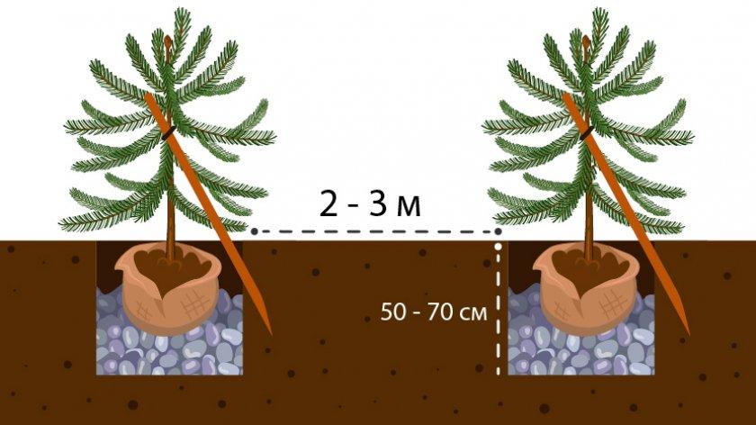 Схема посадки ели