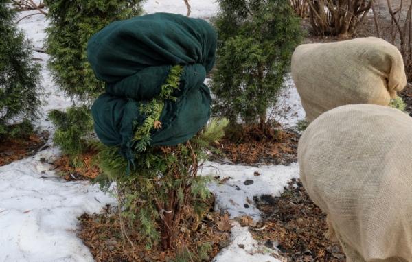 Нужно ли и как укрывать тую на зиму