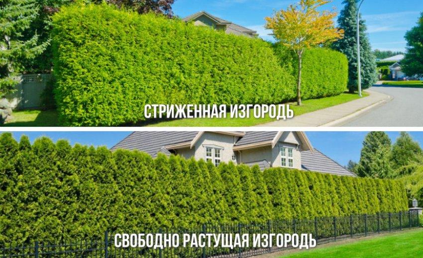 варианты живых изгородей