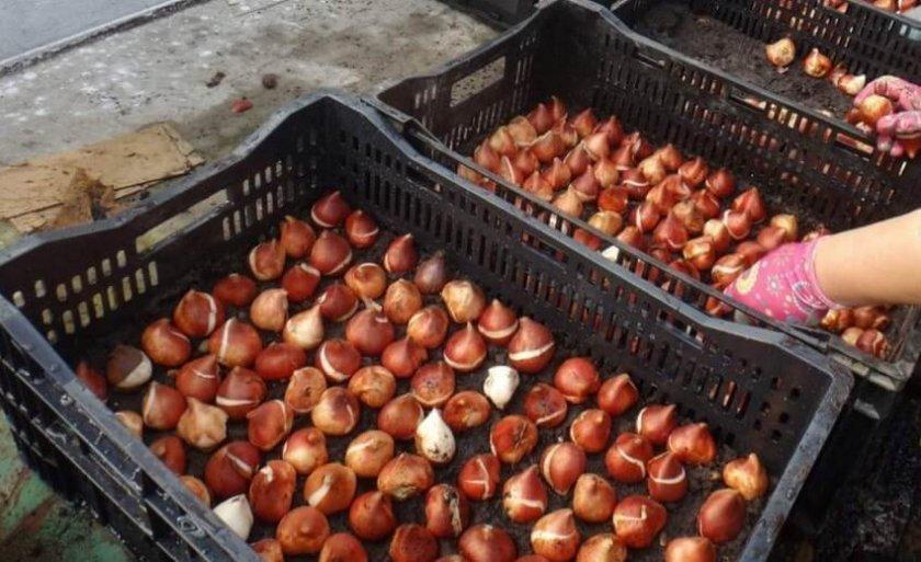 Хранение луковиц тюльпанов в торфе
