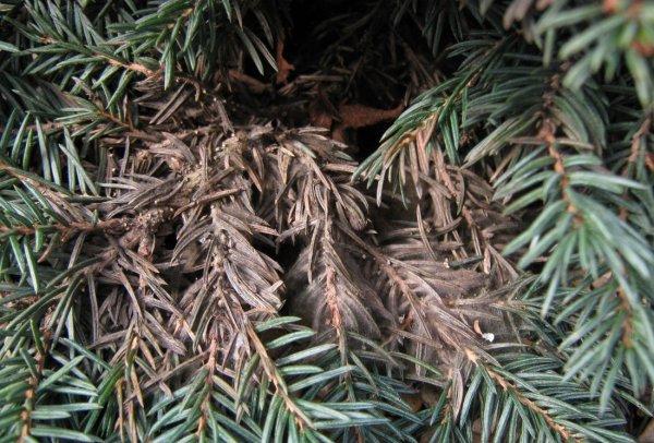 Болезни хвойных растений. Болезни и лечение хвойных растений и деревьев