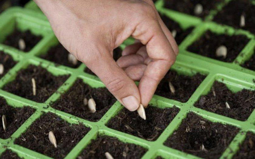 Посев тыквы на рассаду