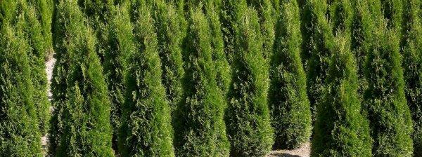 Туя пирамидальная дерево. Описание, особенности, виды и цена туи пирамидальной