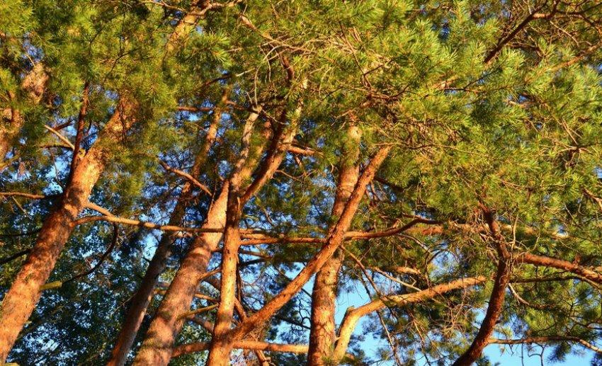 Сосновые деревья