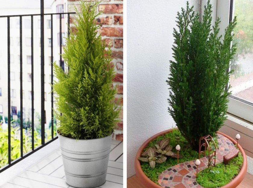 Когда и как правильно посадить тую весной и летом