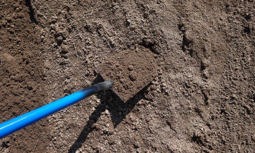 Ель колючая глаука посадка и уход в открытом грунте