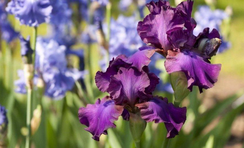 Цветы — ирисы