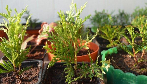 Туи 36 фото как выращивать дерево Особенности ухода за декоративным растением Как развести тую на Урале Как выглядит покрытосеменная туя