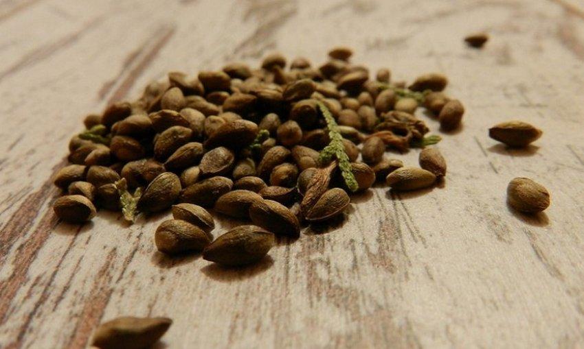 Сбор семян туи