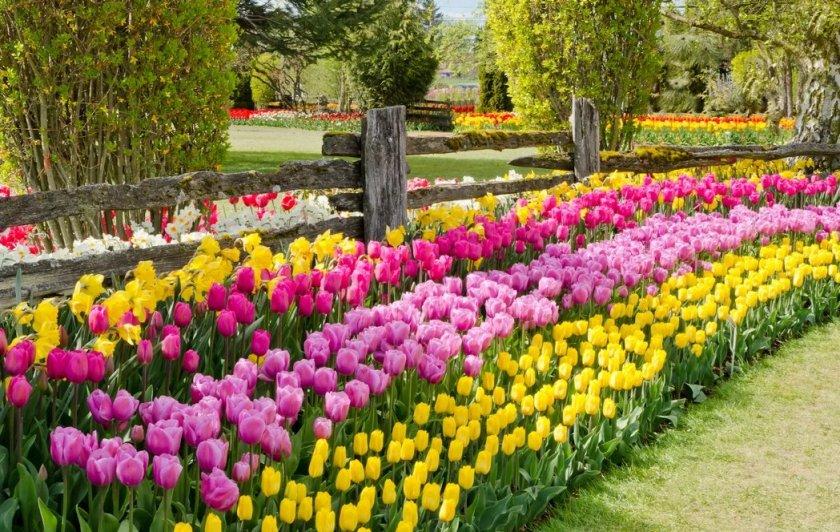 Тюльпаны и нарциссы возле забора