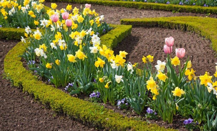 Тюльпаны и нарциссы на клумбе