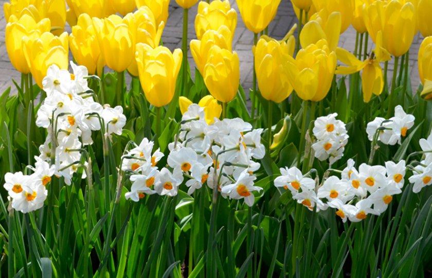 Тюльпаны и нарциссы в ландшафтном дизайне