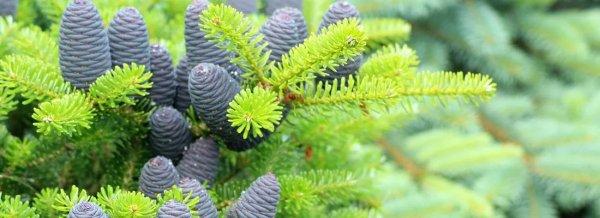 Дерево с красными шишками название