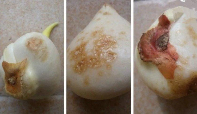 Ризоктониоз тюльпана