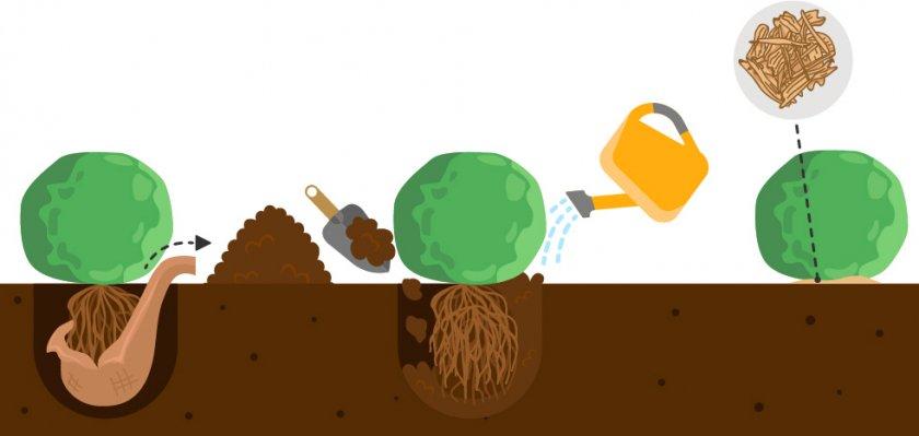 Схема посадки декоративной сосны